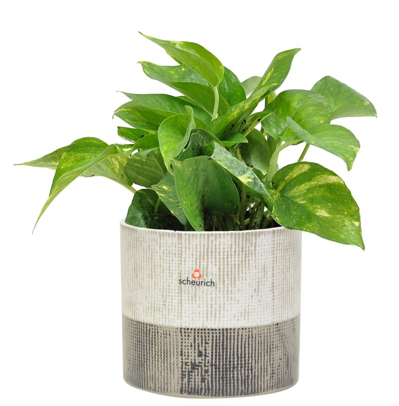 16'' Live Ivy Plant in Planter