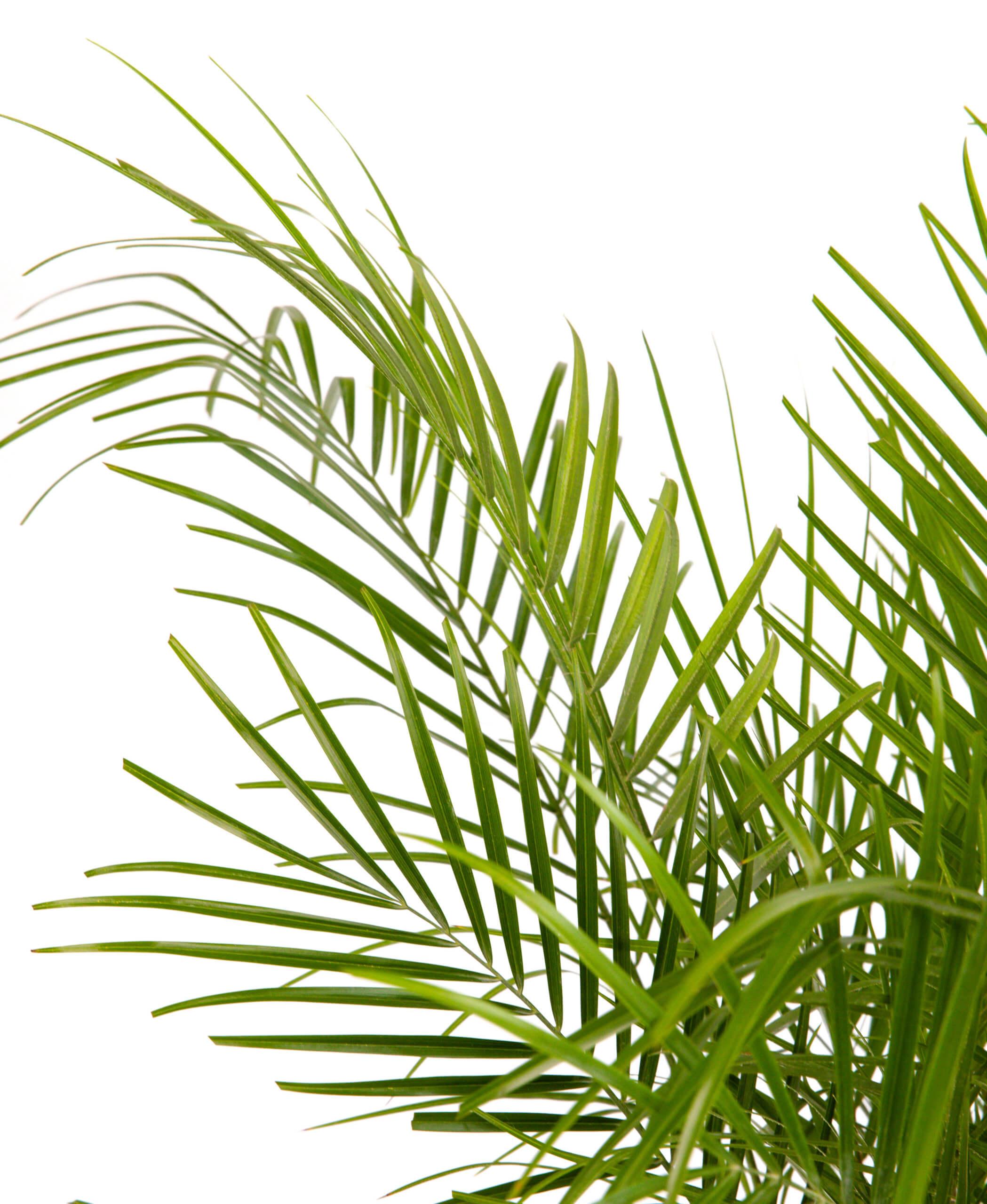 Date Palm - Stone