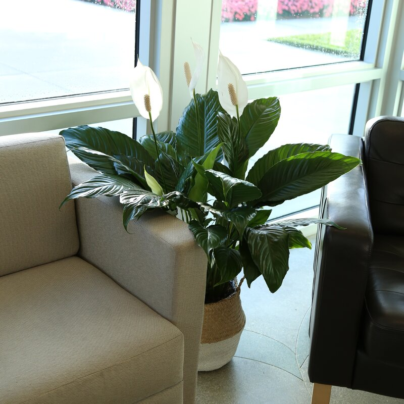 """32"""" Live Peace Lily Plant in Basket"""