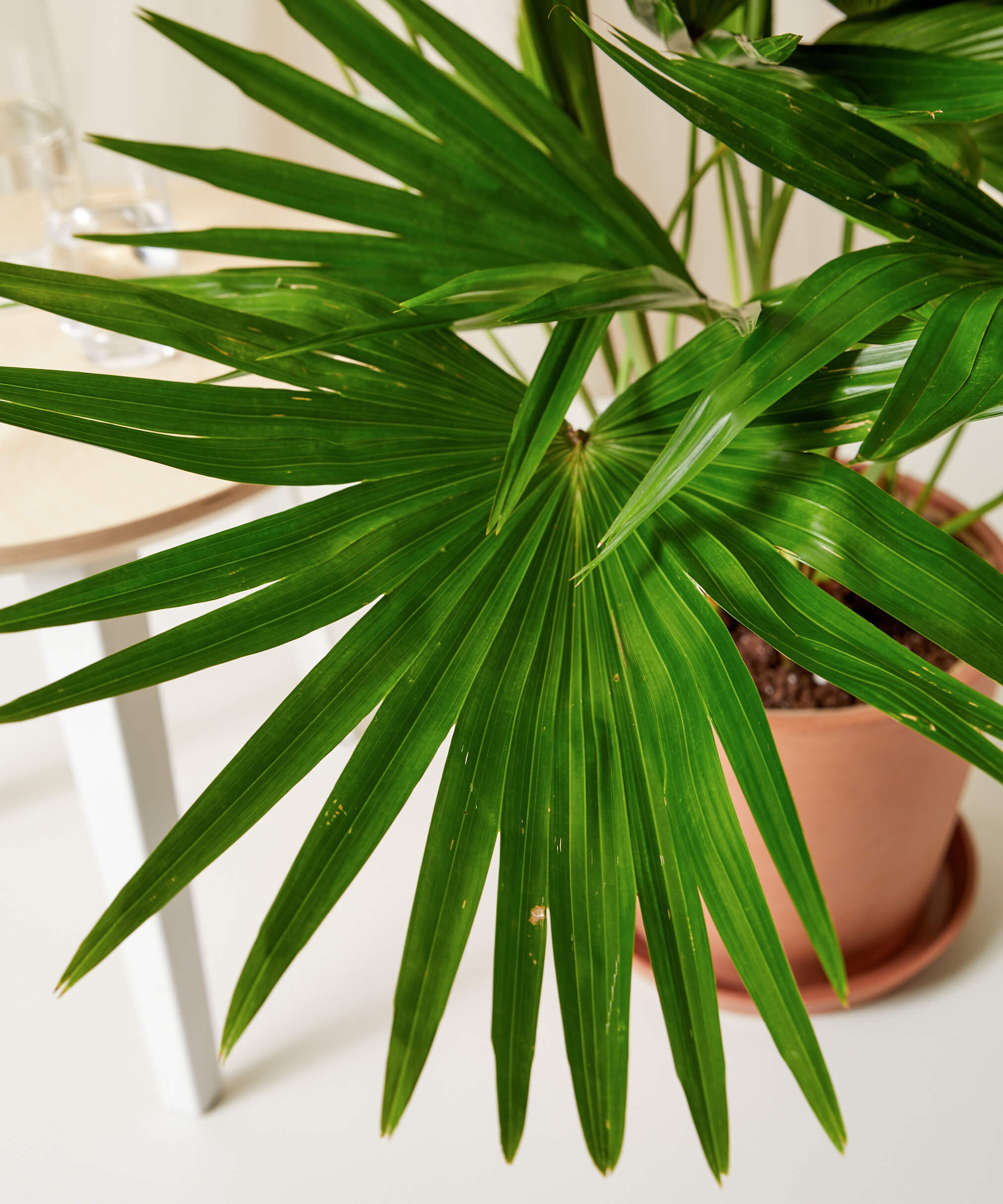 Chinese Fan Palm - Clay
