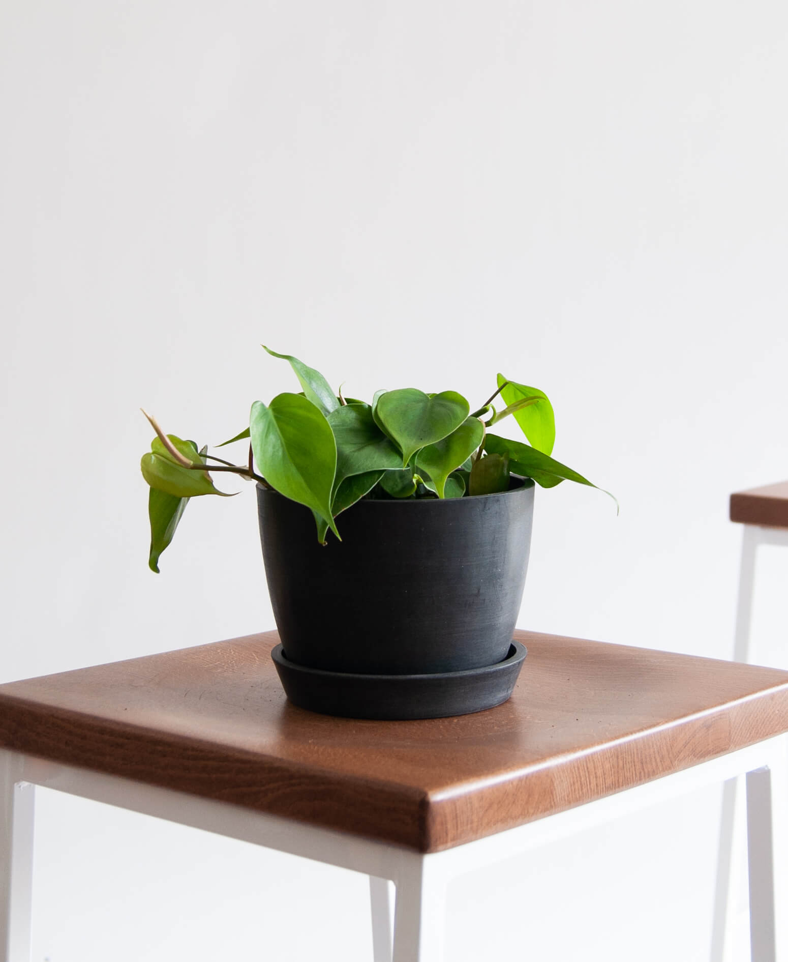 Philodendron Heartleaf - Stone