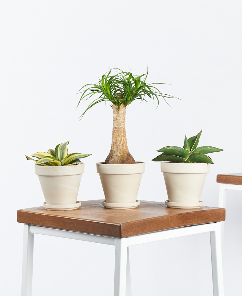 Easy Peasy Collection - 3 plants - alabaster
