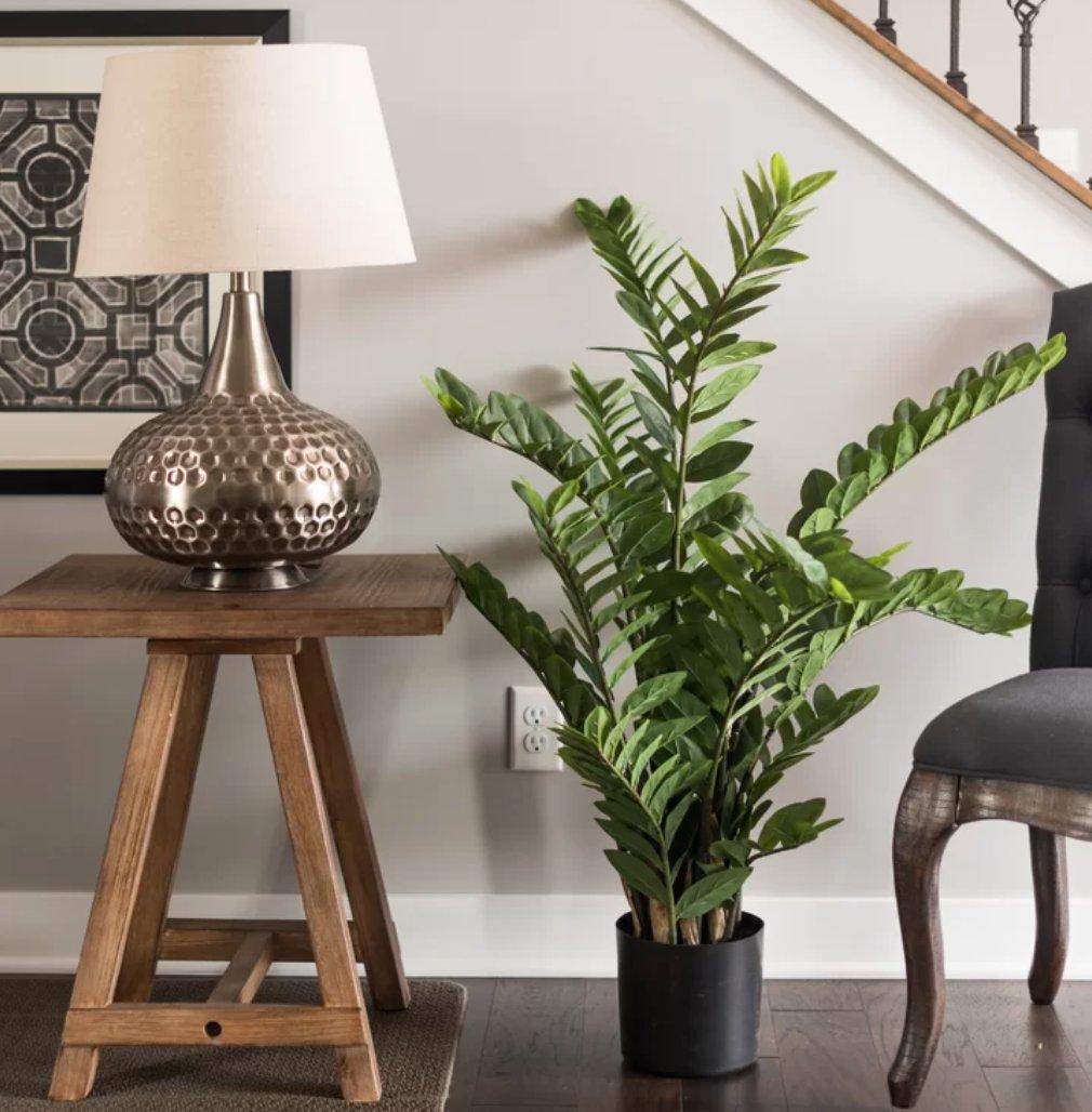 Succulent Zamifolia Plant in Pot