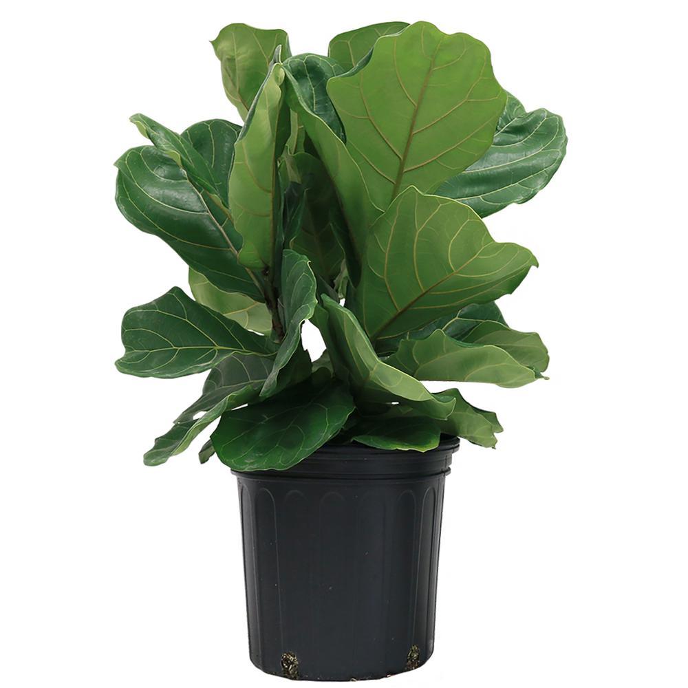 Ficus Pandurata Bush in 8.75 in. Grower Pot (Live Plant)