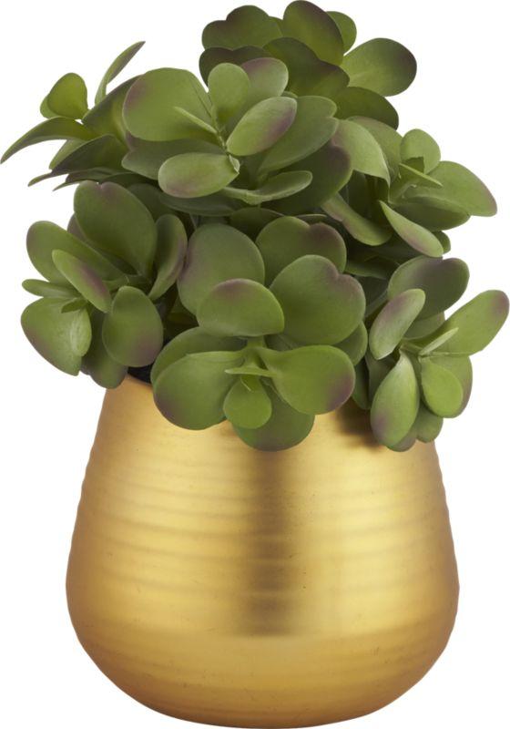 potted eucalyptus plant