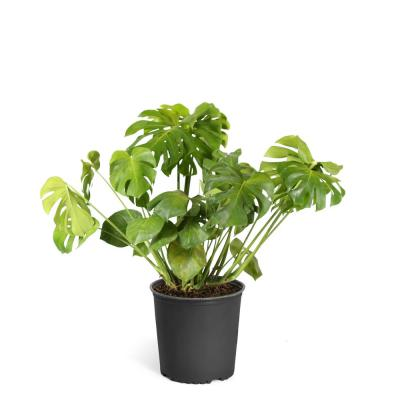 Brighter Blooms Swiss Cheese Plant (Monstera Deliciosa) in 3 Gal. Pot