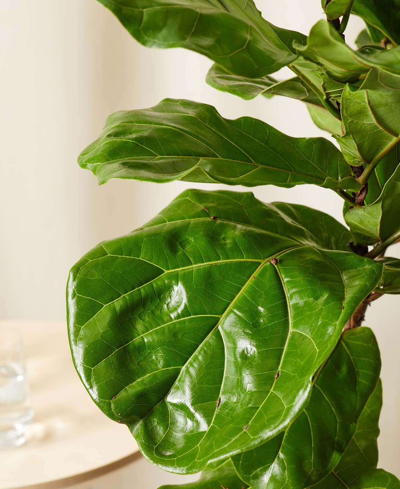 Fiddle Leaf Fig Column -  Charcoal