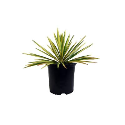 BAUCOMS NURSERY CO 2.25 Gal. Color Guard Yucca Plant with Creamy White and Dark Green Foliage