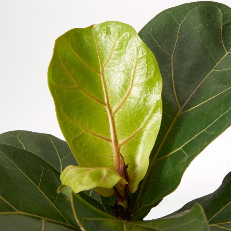Live Fiddle Leaf Fig Plant in Bryant Planter by The Sill