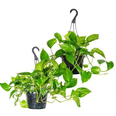 Perfect Plants Golden Pothos Devil's Ivy in 8 in. Hanging Basket (2-Pack)