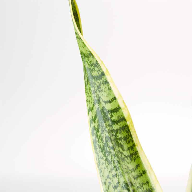 Live Snake Plant in Bryant Planter by The Sill