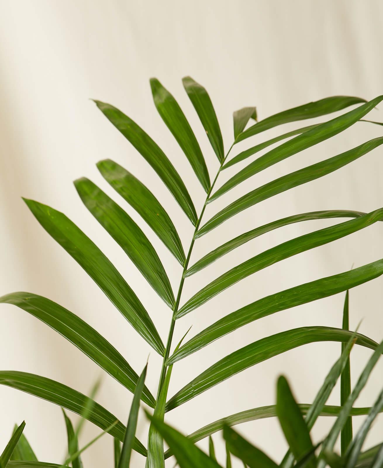 Bamboo Palm -  Stone