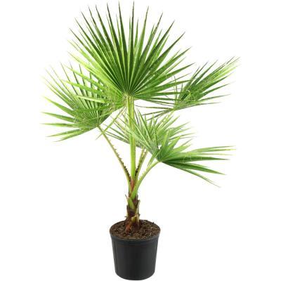 National Plant Network 2 Gal. Washintonia Palm Tree