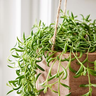 6in Succulent String of Bananas in Hanging Wood Planter